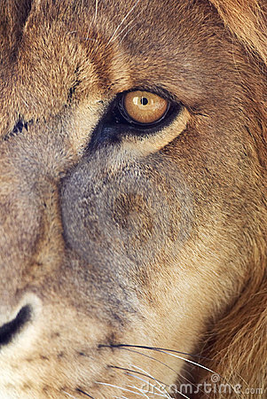 Lion s eye