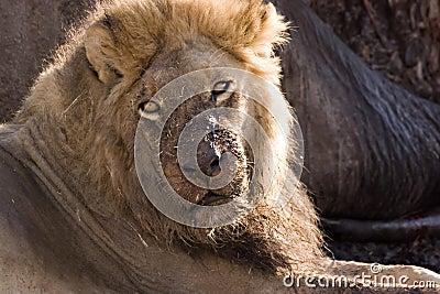 Lion in Savute