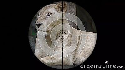 Lion Seen femenino en alcance del rifle del arma Caza de la fauna Animales en peligro, vulnerables, y amenazantes el escalfar metrajes
