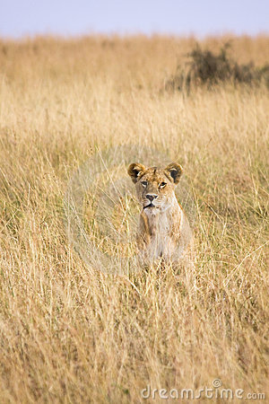 Free Lion Sitting In Tall Grass Stock Images - 13797354