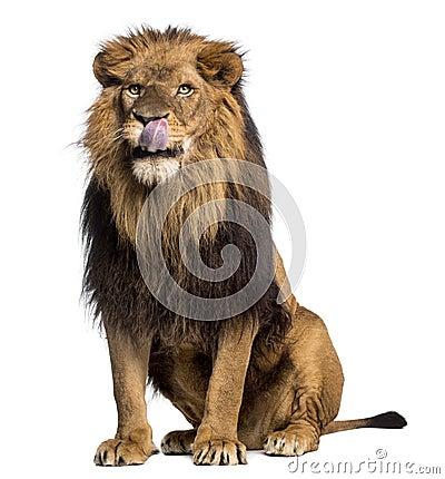 Free Lion Sitting, Licking, Panthera Leo, 10 Years Old Royalty Free Stock Photos - 40401228