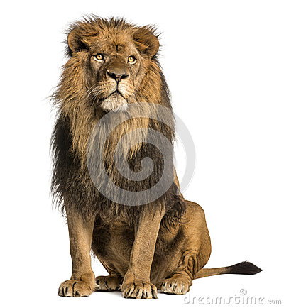 Free Lion Sitting, Looking Away, Panthera Leo, 10 Years Old Royalty Free Stock Photos - 40401748