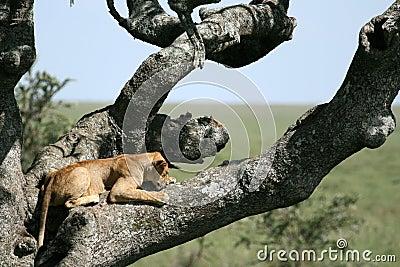 Lion sitting in Tree - Serengeti, Africa