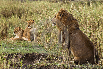Lion sitting and two lionesses in the background