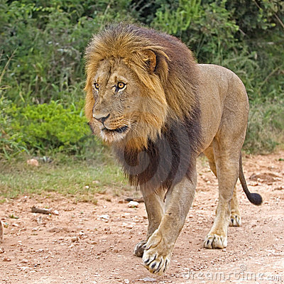 Lion Square Format