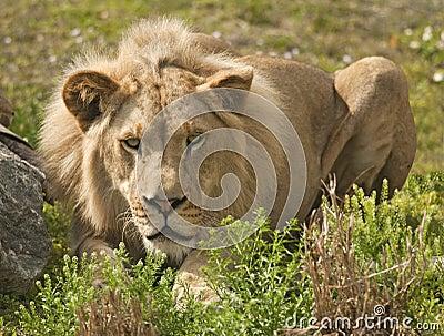 Lion Stalking