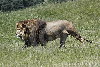 Lion Stalks Prey