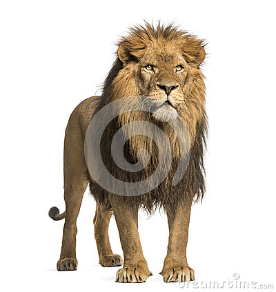 Lion standing, Panthera Leo, 10 years old, isolated Stock Photo