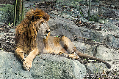 Lion staring in the zoo
