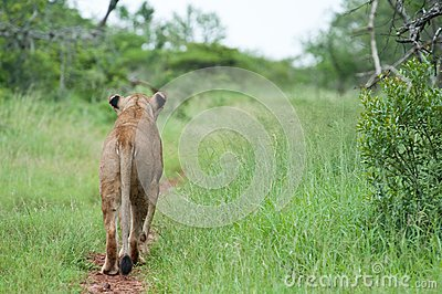 Lion sur la chasse