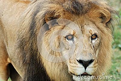 Lion sur le vagabondage
