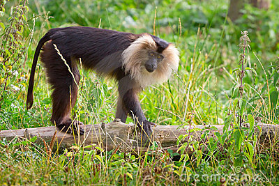 Lion tailed macaque monkey