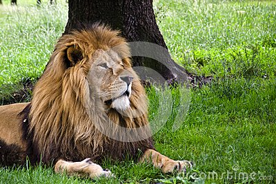 Lion under tree