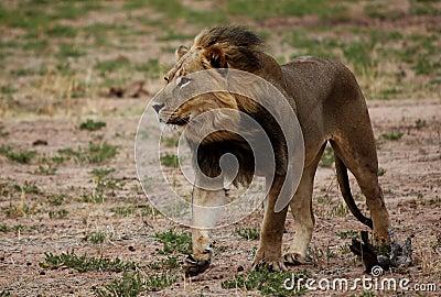 Lion walking with wind through mane