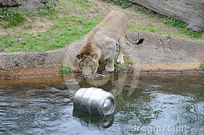 Lion wants keg