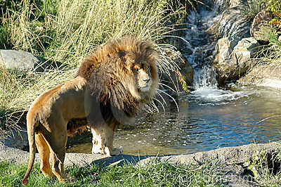 Lion with waterfall