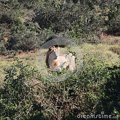 Lion in wilderness
