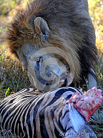 Free Lion With Zebra Kill Royalty Free Stock Images - 41100689