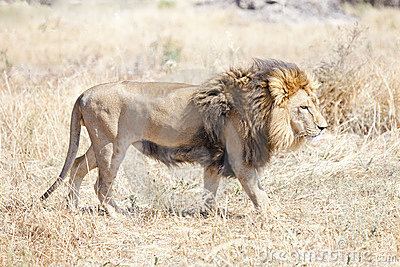 Lion wondering the hot African savannah