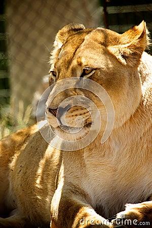Lion - Zoo