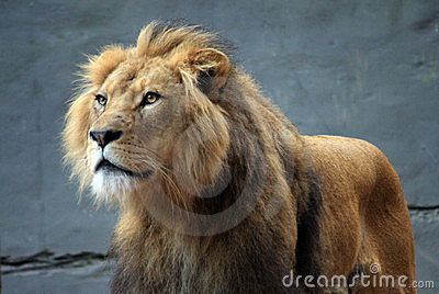 Lion at the Zoo