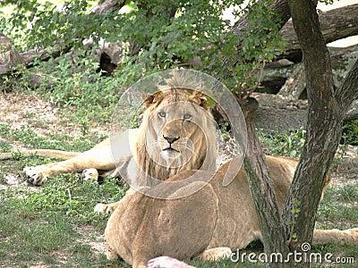 Lionen kopplar ihop