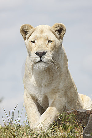 Free Lioness Royalty Free Stock Photography - 16657327