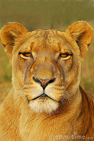 Free Lioness Stock Photography - 6503172