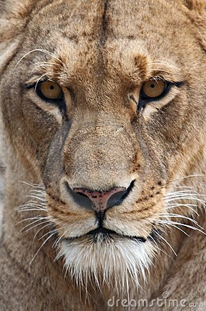 Free Lioness Stock Images - 7124684