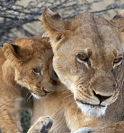 Free Lioness And Cub - Botswana Stock Image - 17291281