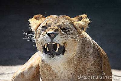 Lioness  bared teeth