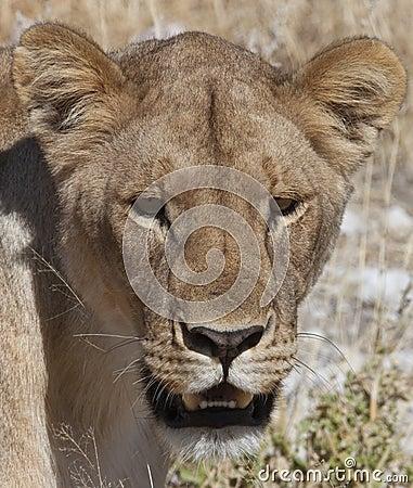 Lioness - Botswana