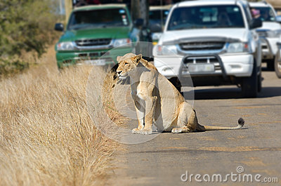 Lioness and cars on road in Kruger national park
