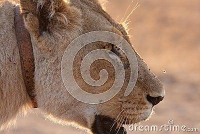 Lioness collar