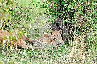 Lioness cub