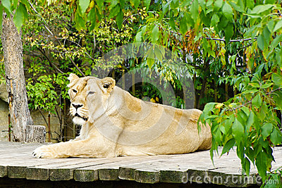Lioness, friendly animals at the Prague Zoo
