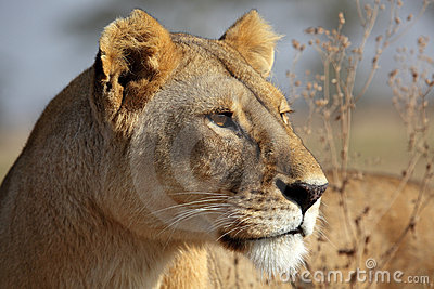 Lioness in golden morning light, Serengeti