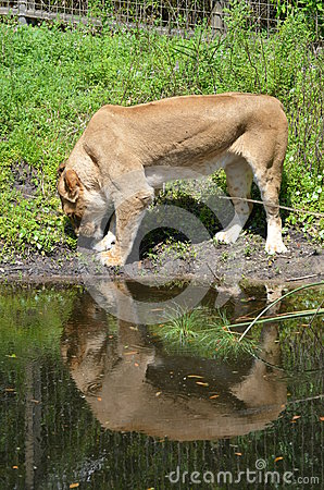 Lioness and her reflection