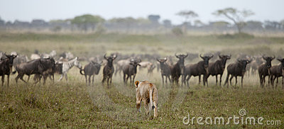 Lioness and herd of wildebeest at the Serengeti