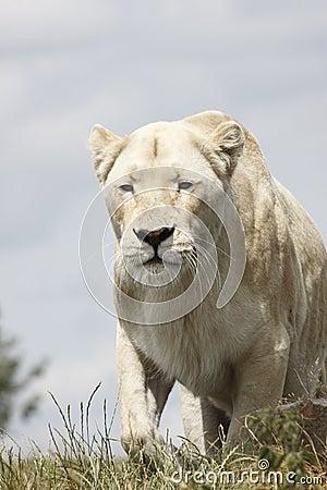 Lioness hunts