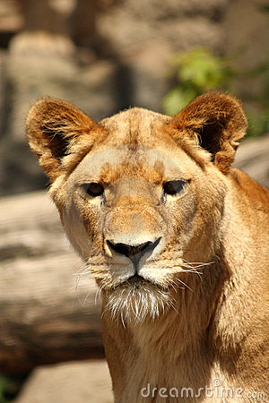 Free Lioness In Sabi Sands Stock Image - 5760131
