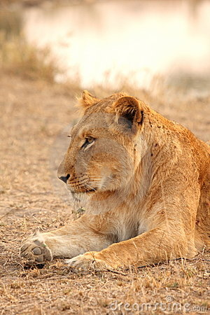 Free Lioness In Sabi Sands Royalty Free Stock Images - 5808019