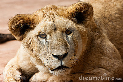 Lioness kitty