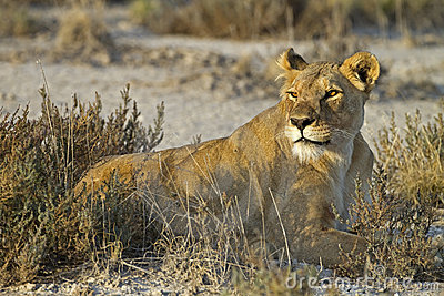 Lioness laying in grass-field