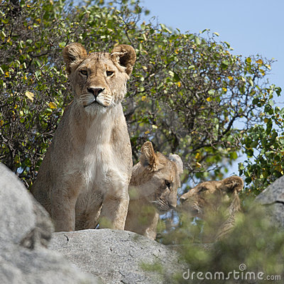 Lioness and lion cubs in Serengeti National