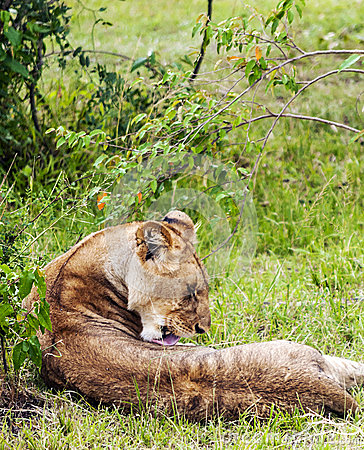 Free Lioness Lounging Stock Photos - 42417423