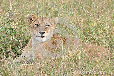 Lioness lying in grass