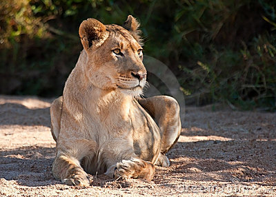 Lioness lying on sand looking alert