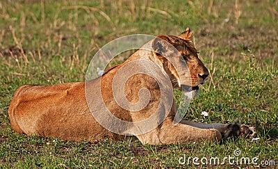 Lioness on the Masai Mara