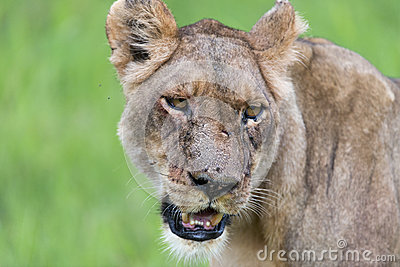 A lioness in the morning (portrait)